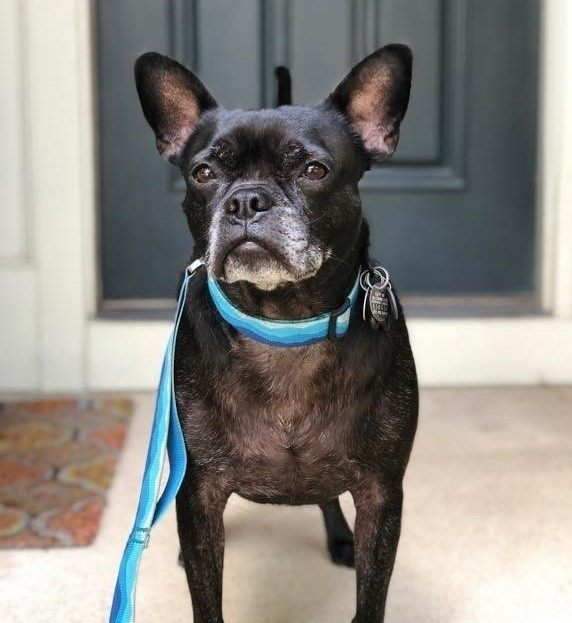 A small dog looking at the camera  Description automatically generated